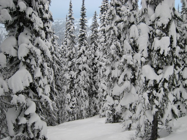 Lots of snow on the trees = great skiing!